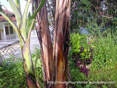 pohon pisang aneh_2
