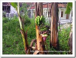 pohon pisang aneh_1