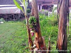pohon pisang aneh_3